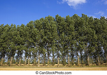 poplar tree background - stubble fields and a poplar...