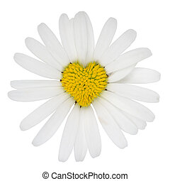 Heart shaped marguerite flower love - Heart shaped blossom...