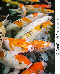 Carp Koi fishes in the pond - Carp Koi fishes swimming in...