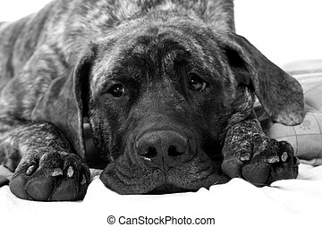 mastiff puppy - close up of an adorable english mastiff...