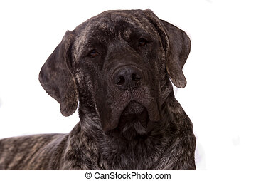 beautiful puppy - Beautiful face of an young English Mastiff...