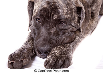 sad puppy - sad expression on this young English Mastiff