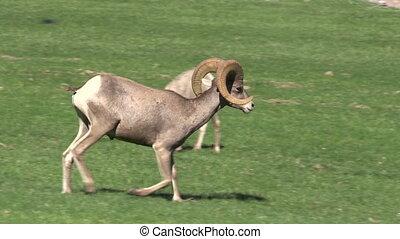 Desert Bighorn Ram - a desert bighorn sheep ram