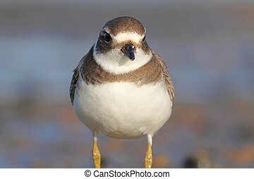 Semipalmated Plover Charadrius semipalmatus by the Atlantic...