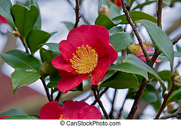 Single Petal Red Camellia Flowers on Bush - This is a single...