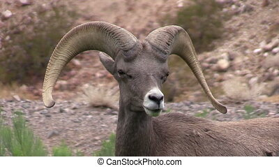 Desert Bighorn Sheep Ram Portrait - a close up portrait of a...
