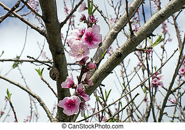 Almond blossom - Almond tree flowers blossom at spring...