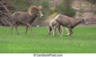 Rutting Desert Bighorn Sheep - a desert bighorn sheep ram...