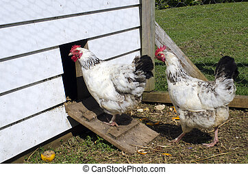 Chicken farm - Two free range egg-laying hens in a chicken...