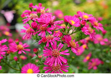 Pink daisy flowers on nature