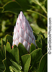 "Protea Flower - Protea ""pink ice"", in dappled light with..."