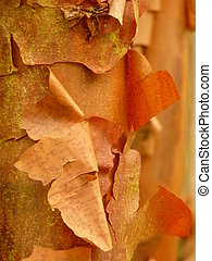 Paperbark Maple - Peeling orange bark of the paperbark maple...