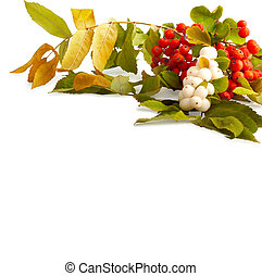 Rowan branch with berries isolated on a white background