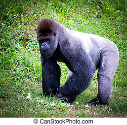 silverback gorilla in a meadow