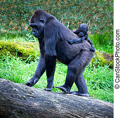 gorillas - gorilla breeding with her mother