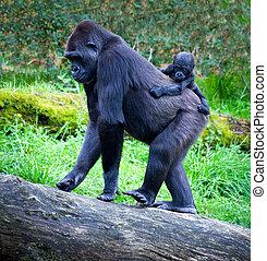 gorillas - gorilla breeding with her mother