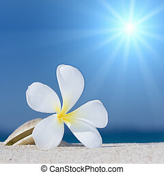 Seashell and flower on the beach - Tropical flower Plumeria...