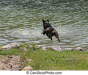 Dog jumping in a lake - Dog jumping in mid air into a lake...