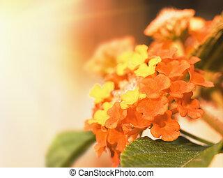 floral, Plano de fondo, lantana, flores