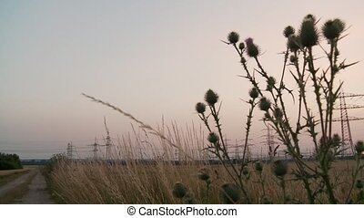 Thistle and Field in Sunset - video footage of a thistle on...