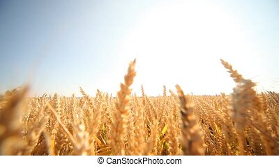 Woman in Grainfield - video footage of a happy woman in a...