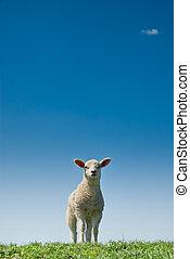 cute lamb - cute and curious lamb in spring