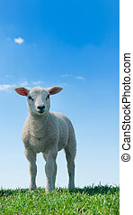 cute lambs - cute and curious lambs in spring