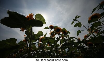 Sunflowers - video footage of Sunflowers