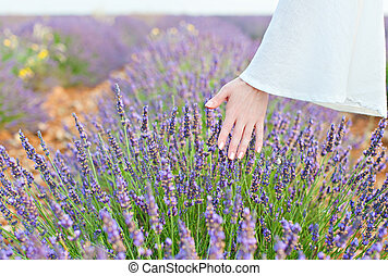 Hand and lavender - Womans hand touching a growing crop...