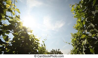 Grapes - video footage of a Vineyard in germany at the river...