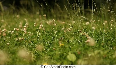 Lawn - video footage of a green meadow in summer