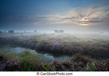 misty sunrise over swamp with flowering heather,...