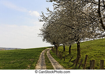 Foothpath with cherry trees in Hagen, Lower Saxony, Germany,...