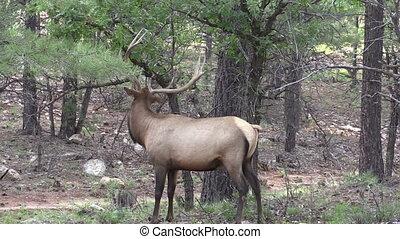 Bull Elk Rubbing Antlers - a bull elk rubbing antlers on a...