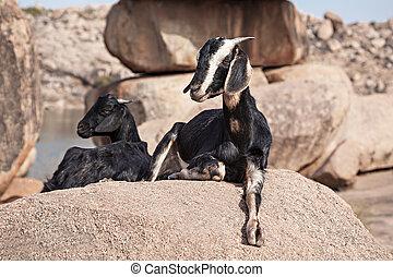 montanha, cabras