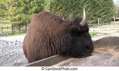 Buffalo - video foootage of buffalos