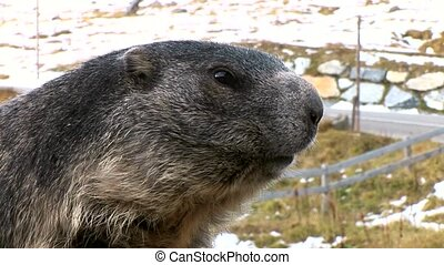 Marmot - video footage of a marmot