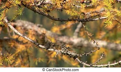 Fir Needles - video footage of a conifer in the Austrian...
