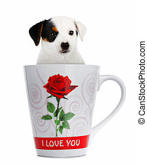 Jack Russell puppy in the cup on white background