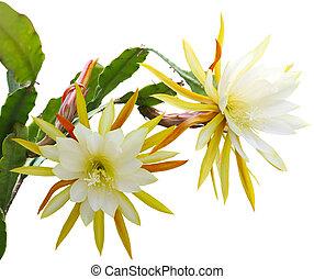 Yellow epiphyllum Flower plant isolated on white background
