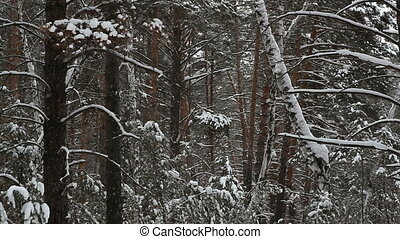 Snowfall in the background of a winter forest