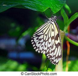 paper kite Butterfly - black white paper kite Idea leuconoe...
