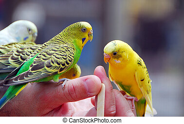 yellow green budgie parrot pet bird also known as Budgerigar...
