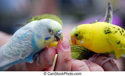 yellow green budgie parrot pet bird