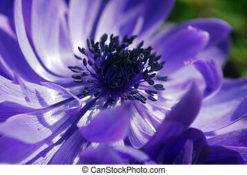 Blue Anemone flower in bloom in spring