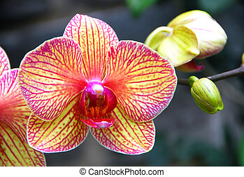 Phalaenopsis yellow red orchid flower in bloom in spring