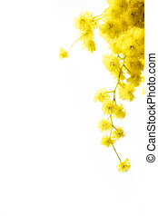 Mimosa - Branch of mimosa flowers isolated on white. Large...