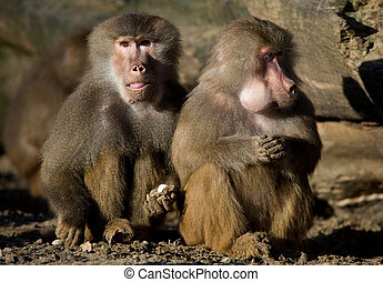 baboon - close up of two baboons