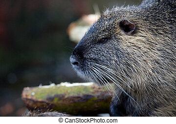 coypu - closeup of a coypu, also named nutria native to...
