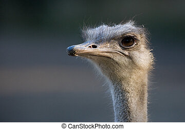 ostrich - close up of an ostrich